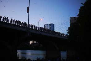 Bats in Austin, TX