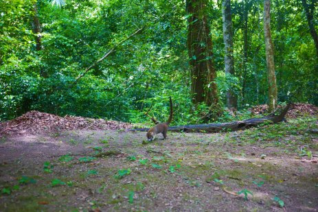 First encounter with a coati, Tikal