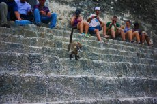 Coatis are so cute, Tikal
