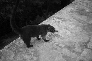 A coati in Tikal