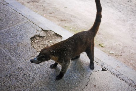 I have so many pictures of coatis, Tikal