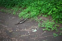 A Boa Constrictor, Nature Reserve, Ometepe, Nicaragua